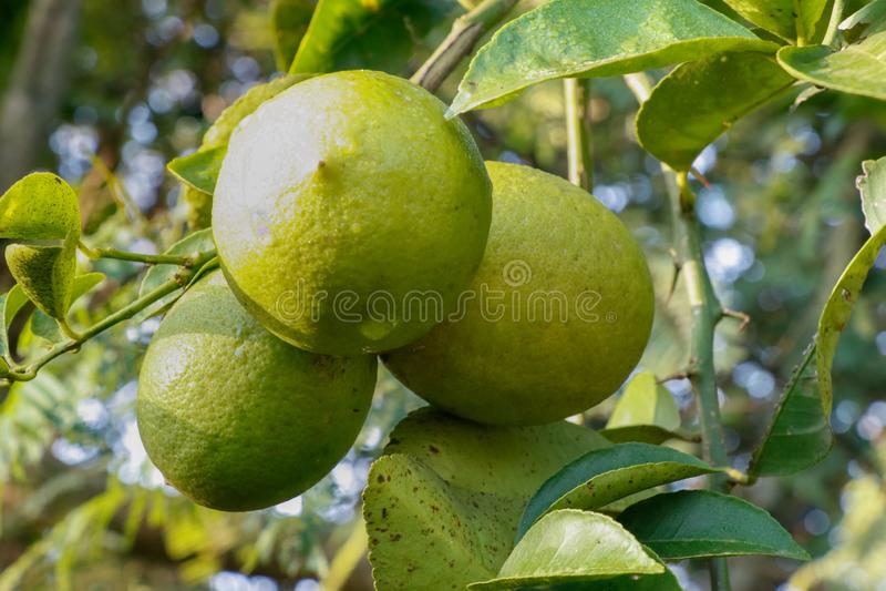 Grupp av den gröna citronen med blad och filialer arkivbilder