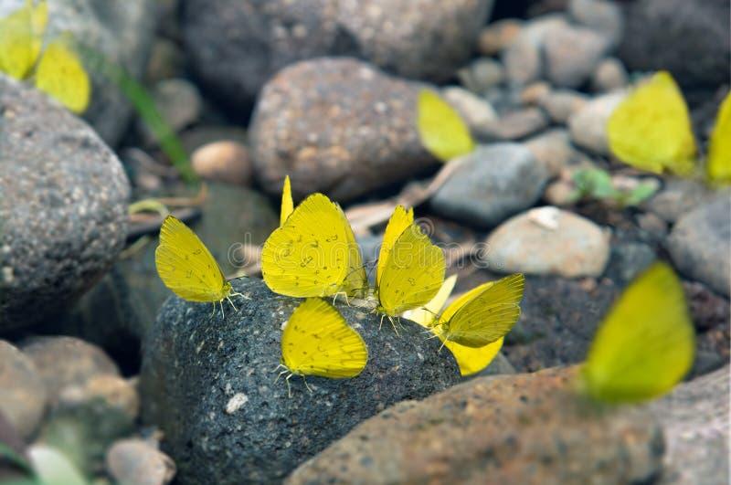 Grupp av den gula stenen för fjärilsPuddlingon granit Indonesien fjärilar svärmer att slicka och äter mineral i Ranca Upas Ciwide royaltyfri bild