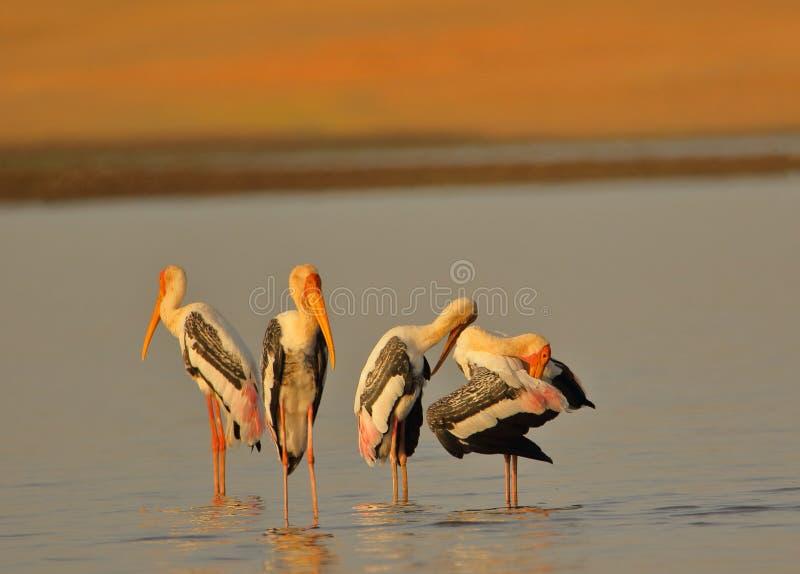 Grupp av den målade storkfågeln royaltyfri foto