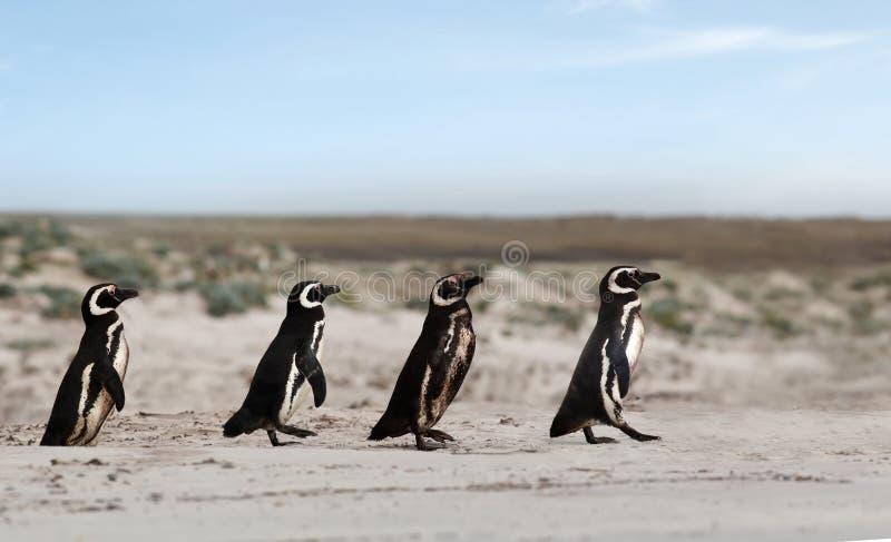 Grupp av den Magellanic pingvinöverskriften till havet för att fiska arkivfoton