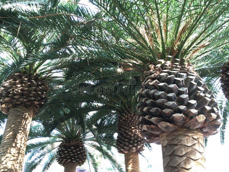 Grupp av den medelhavs- palmträdcloseupen royaltyfri foto