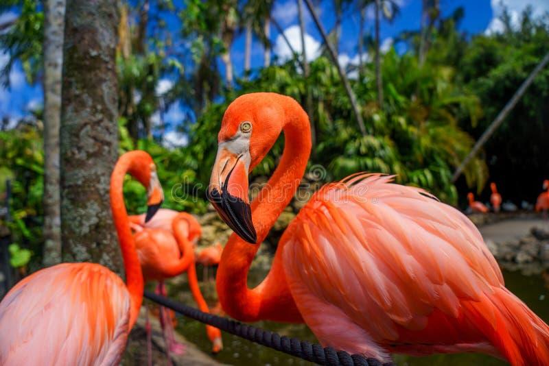 Grupp av den röda flamingo i vattnet arkivfoton