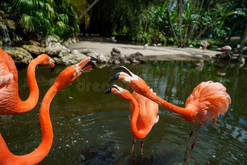Grupp av den röda flamingo i vattnet fotografering för bildbyråer