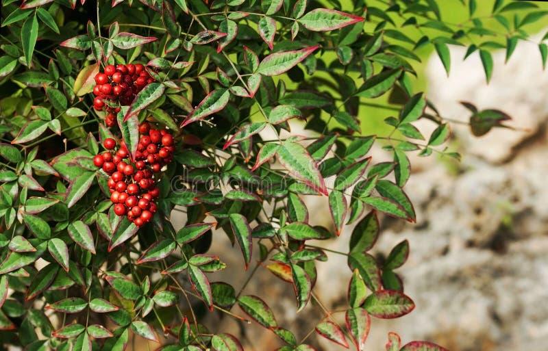 Grupp av den röda rönnen med röda bär fotografering för bildbyråer