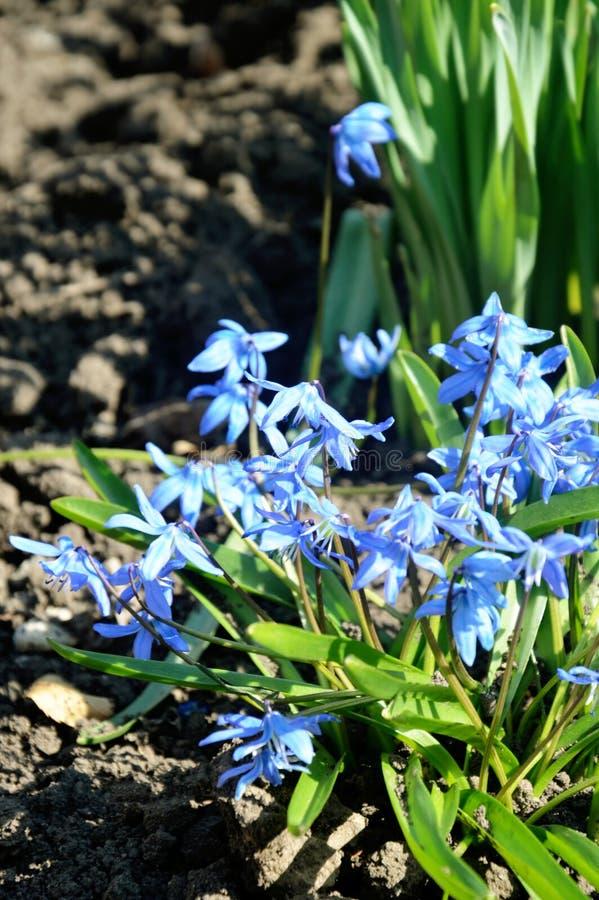 Grupp av den Scilla sibericaen, blåa blommor för tidig vår royaltyfri foto