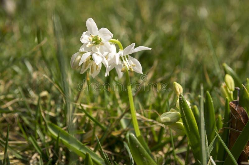 Grupp av den Scilla sibericaen, vita blommor för tidig vår i blom i trädgårds- säng arkivfoto