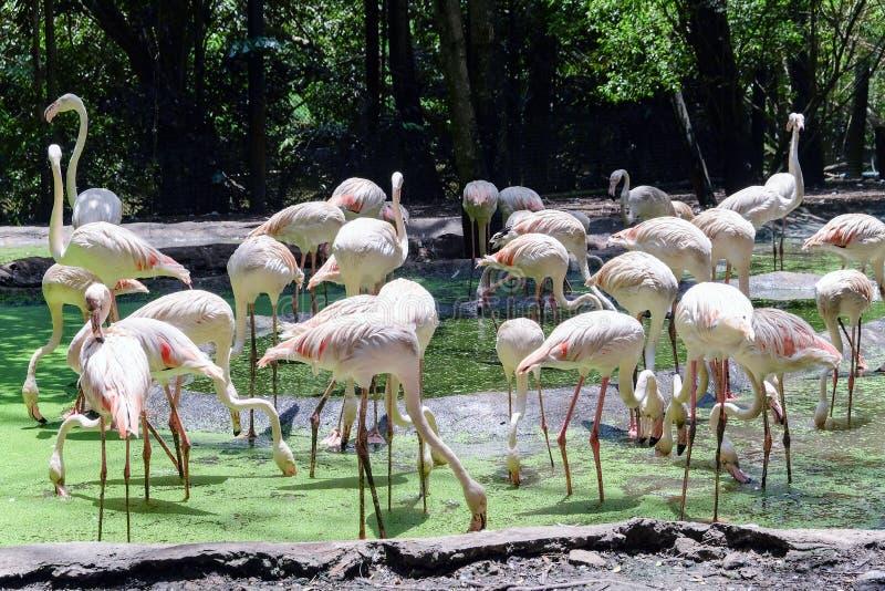 Grupp av den större flamingo arkivbild
