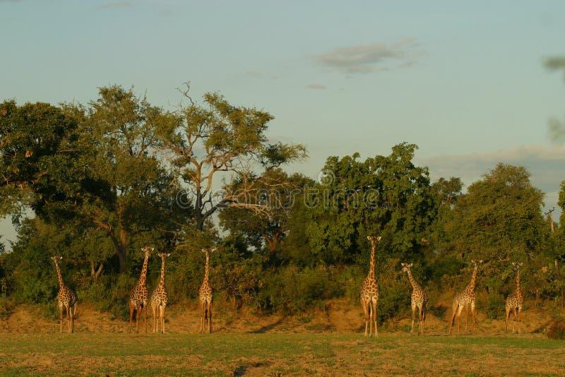 Grupp av den Thornycroft giraffet i Luangwa royaltyfri foto