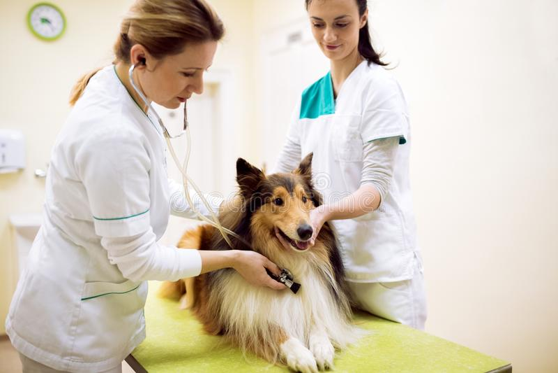 Grupp av den veterinär- examinighunden på kliniken fotografering för bildbyråer