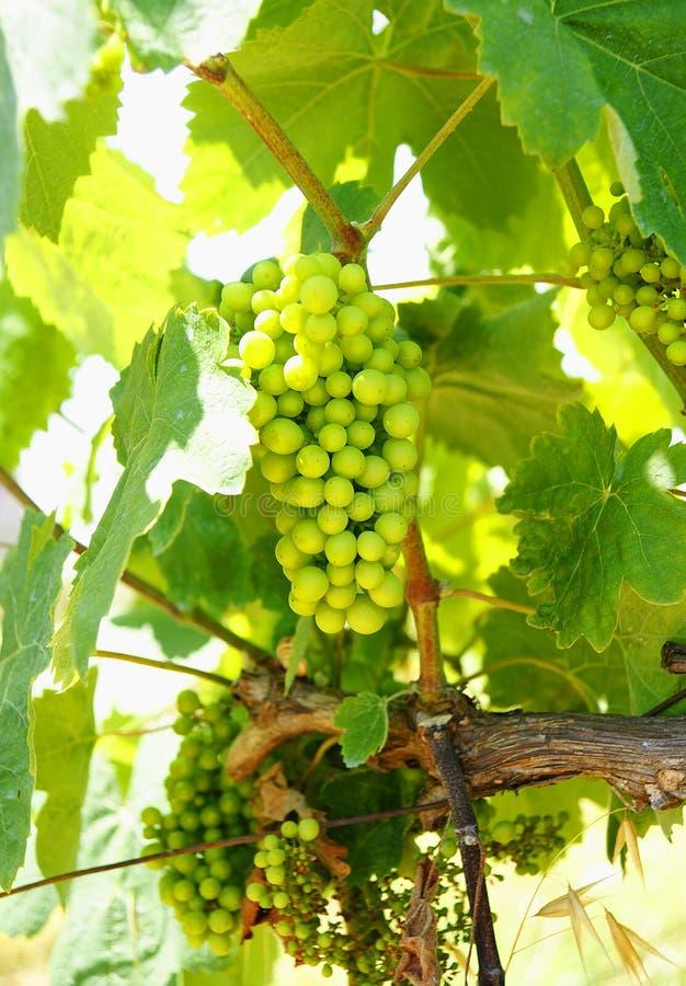 Grupp av druvor i en vingård royaltyfri fotografi