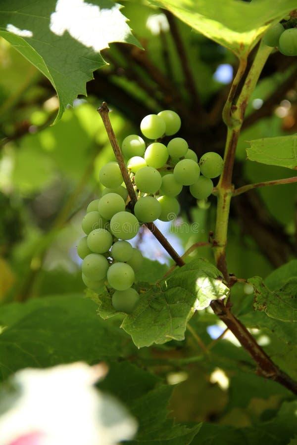 Grupp av druvor på vingårdcloseupen arkivbilder