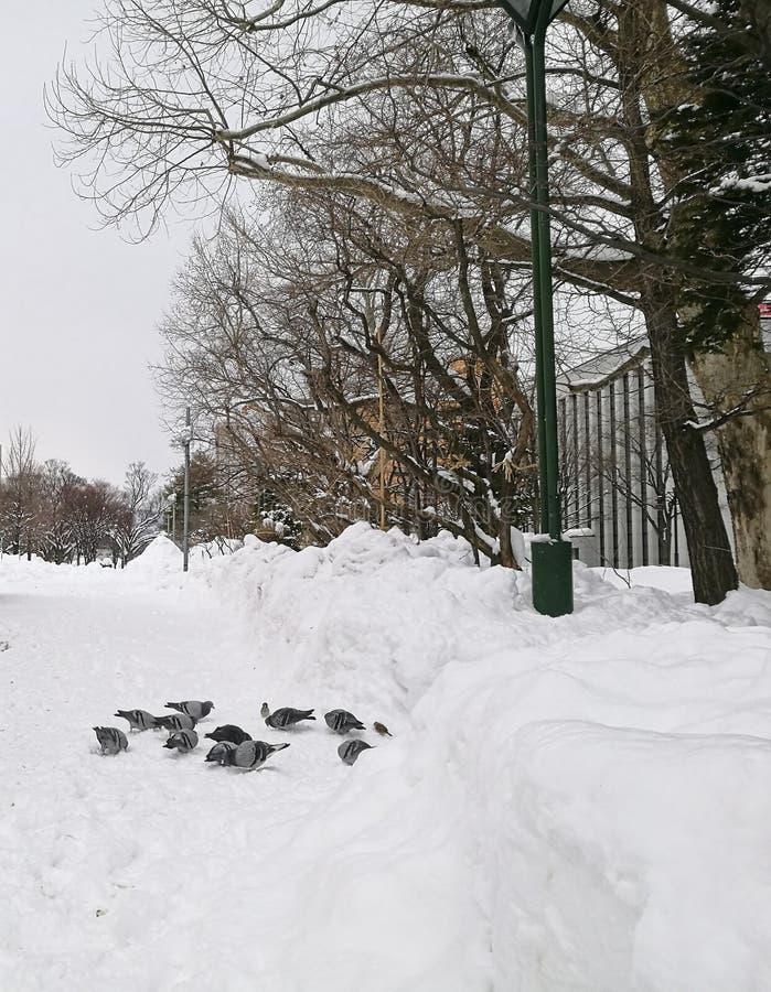 Grupp av duvan som tillsammans står i Sapporo Central Park i seger fotografering för bildbyråer