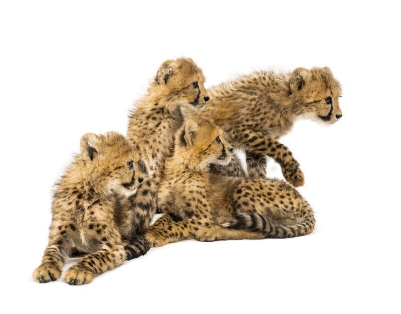 Grupp av en familj av tre månader gammalt sitta för gepardgröngölingar arkivfoton