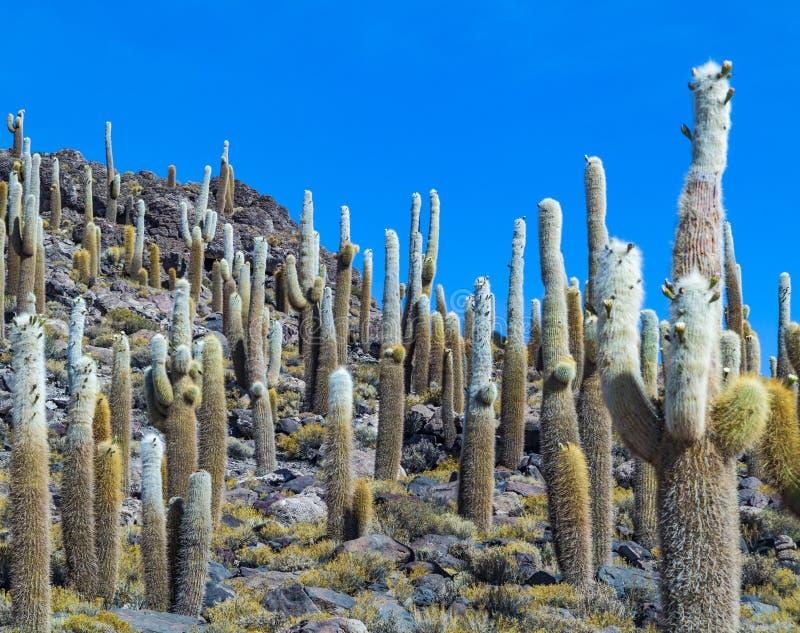 Grupp av enormt Trichoreus kaktusanseende på Isla Incahuasi på sa arkivfoton