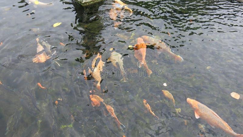 Grupp av färgrika koikarpar i pöl ljust f?rgad fisk Den Koi fisken svävar undervattens- arkivfoto