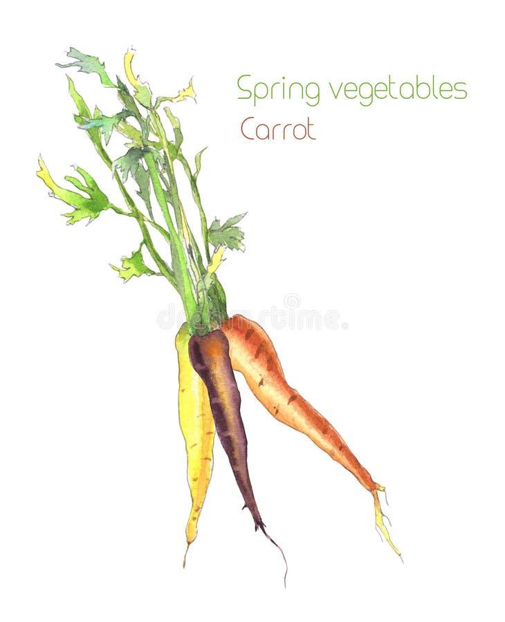 Grupp av färgrika morötter stock illustrationer