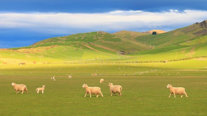 Grupp av får på Rolling Hills, Nya Zeeland royaltyfri foto