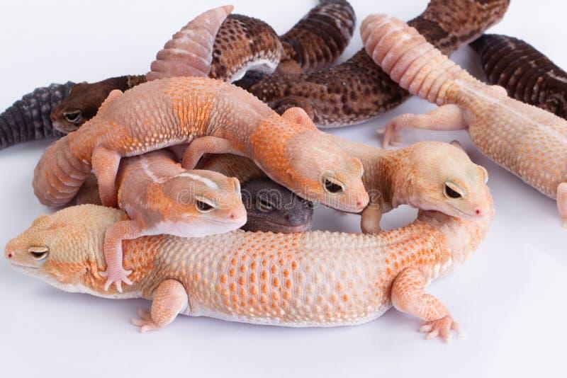 Grupp av Fat-tailed geckos arkivbild