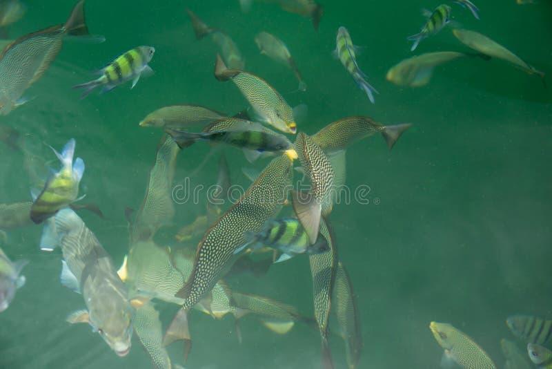 Grupp av fisken som äter mat i havssikten på fartyget arkivbilder
