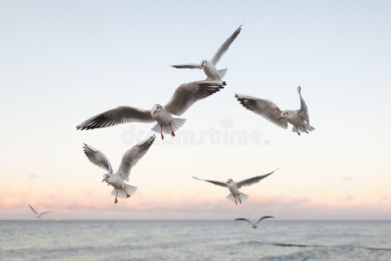 Grupp av fiskmåsar på solnedgången royaltyfri bild
