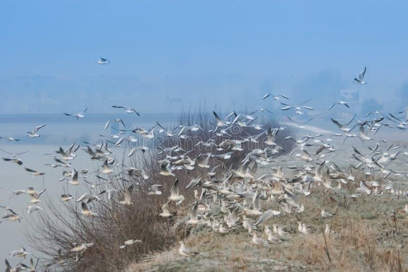Grupp av fiskmåsar som flyger på kust royaltyfri foto
