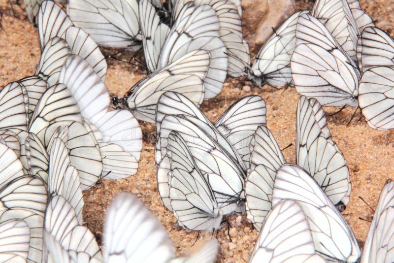Grupp av fjärilar. royaltyfri foto