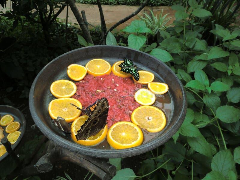 Grupp av fjärilar som läppjar nektar inom ett stort växthus arkivbild