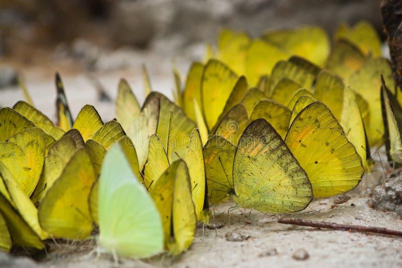 Grupp av fjärilsmatning royaltyfri bild