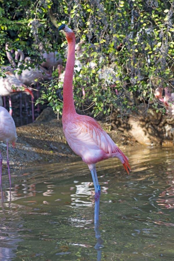 Grupp av flamingo i ett damm royaltyfri fotografi
