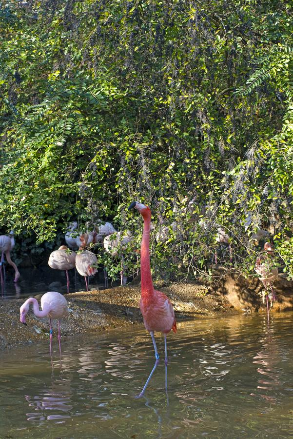 Grupp av flamingo i ett damm royaltyfri bild
