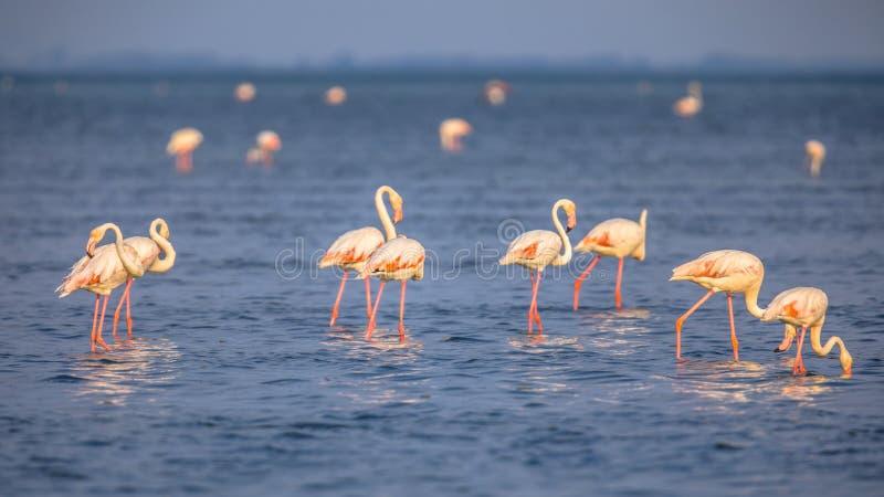 Grupp av flamingomatning royaltyfria foton