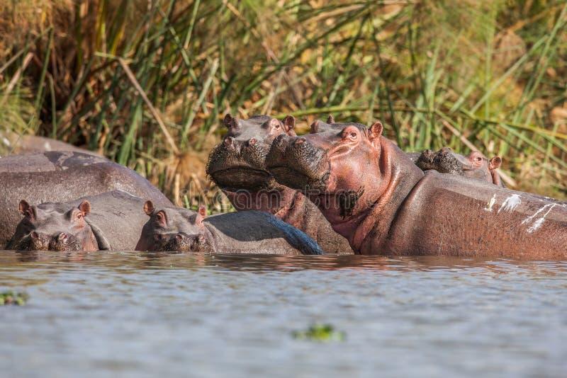 Grupp av flodhästar som tillsammans sover i floden royaltyfria bilder