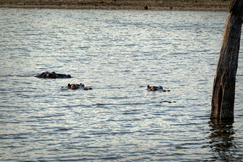 Grupp av flodhästsimning i en sjö, Kruger nationalpark, Sydafrika royaltyfri bild