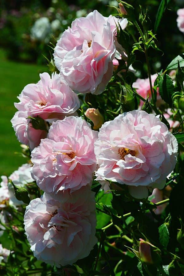 Grupp av fulla blommande rosa blommor av den rosa Kir för klättring kungliga personen, Meilland1993 arkivbild