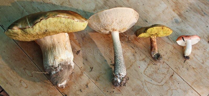 Grupp av fyra ätliga champinjoner (vit, sopp, suillusen, russula arkivfoto