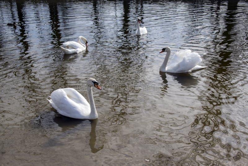 Grupp av fyra svanar på den Odra floden, störst vattenfågelfåglar med vita fjädrar royaltyfri fotografi