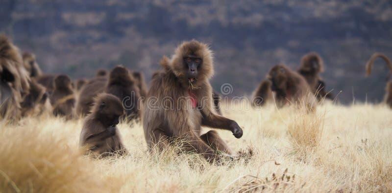 Grupp av Gelada babianer som matar, Theropithecus gelada, i Etiopien royaltyfri bild