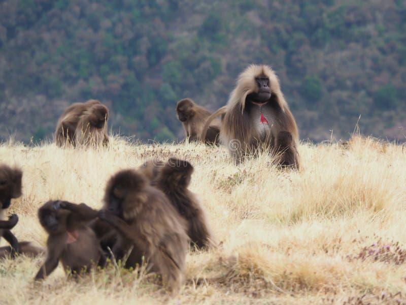Grupp av Gelada babianer, Theropithecus gelada, i Etiopien royaltyfri foto