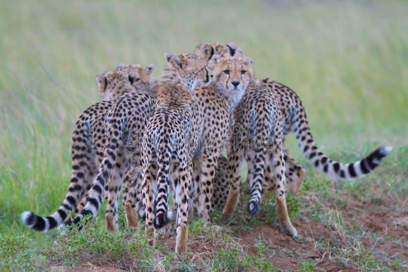 Grupp av geparder royaltyfria bilder