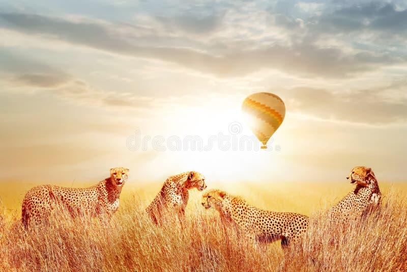 Grupp av geparder i den afrikanska savannahen mot härlig himmel och ballongen Tanzania Serengeti nationalpark Löst liv av Afri royaltyfria bilder