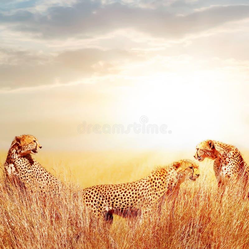 Grupp av geparder i den afrikanska savannahen Mot härlig himmel Tanzania Serengeti nationalpark Löst liv av Afrika royaltyfria foton