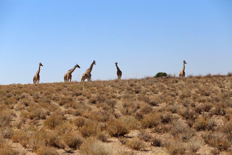 Grupp av giraff royaltyfria bilder