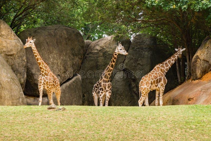Grupp av giraff - Giraffacamelopardalis fotografering för bildbyråer