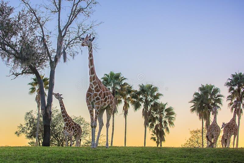 Grupp av giraff i aftonen, med solnedgång bak kullen royaltyfri bild