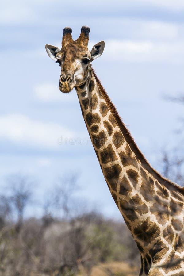 Grupp av giraff i den Kruger nationalparken royaltyfri bild