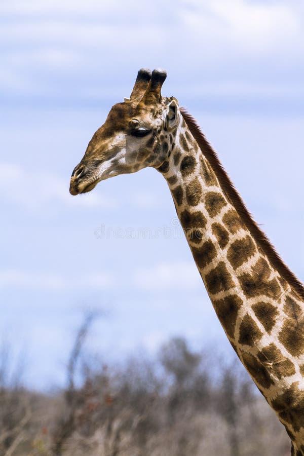 Grupp av giraff i den Kruger nationalparken royaltyfria bilder