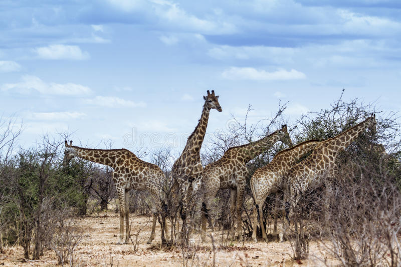 Grupp av giraff i den Kruger nationalparken royaltyfri fotografi