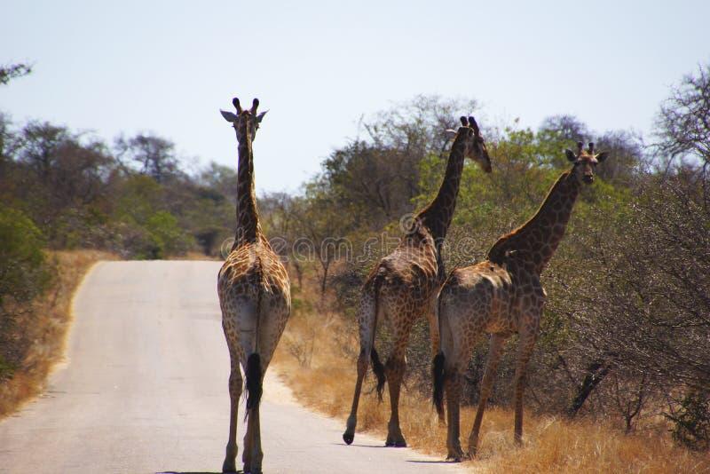 Grupp av giraff i den Kruger nationalparken fotografering för bildbyråer