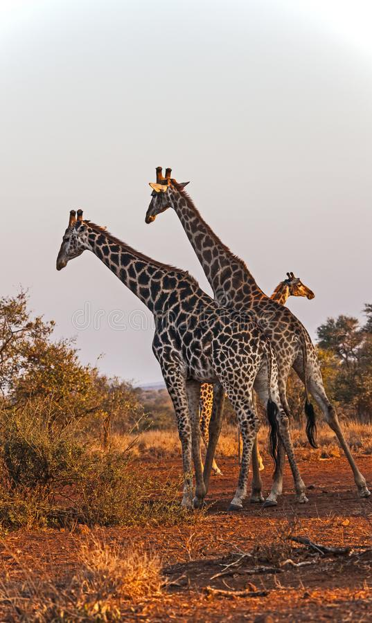 Grupp av giraff i den Kruger nationalparken africa near berömda kanonkopberg den pittoreska södra fjädervingården arkivfoto