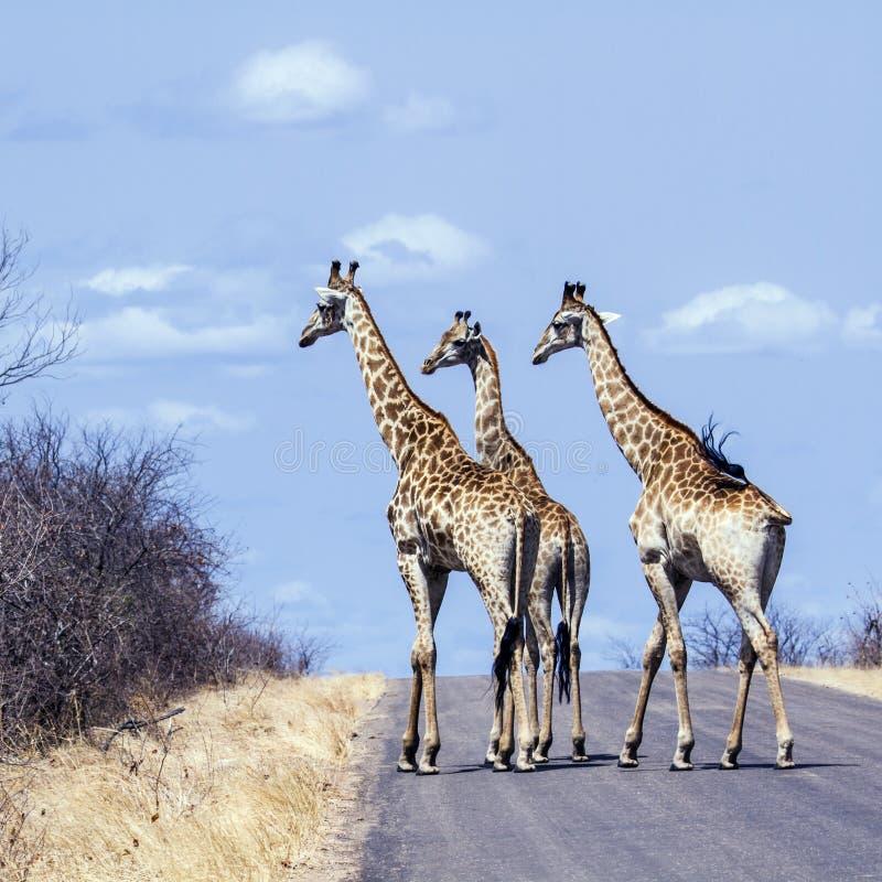 grupp av giraff i den Kruger nationalparken, i vägen, Sydafrika royaltyfri fotografi